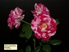 22 Court Floribunda Spray Baiocchetti Scentimental.jpg
