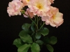22 Floribunda Spray King Jepson Lady of Dawn.jpg