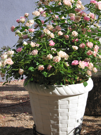 Grow A Garden In Pots Container gardening in the desert rose society of tucson la marne in a resin pot workwithnaturefo